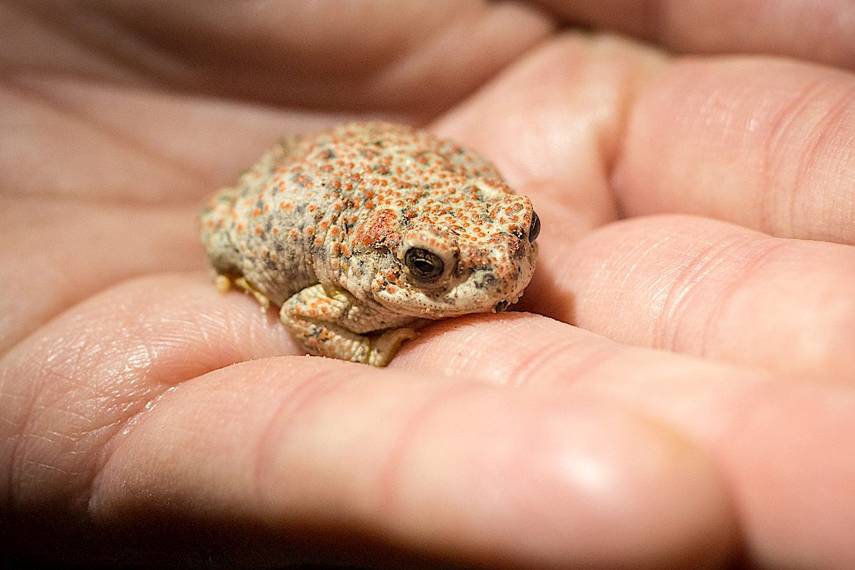 Red Spotted Toad near Molino Canyon. February 2015.