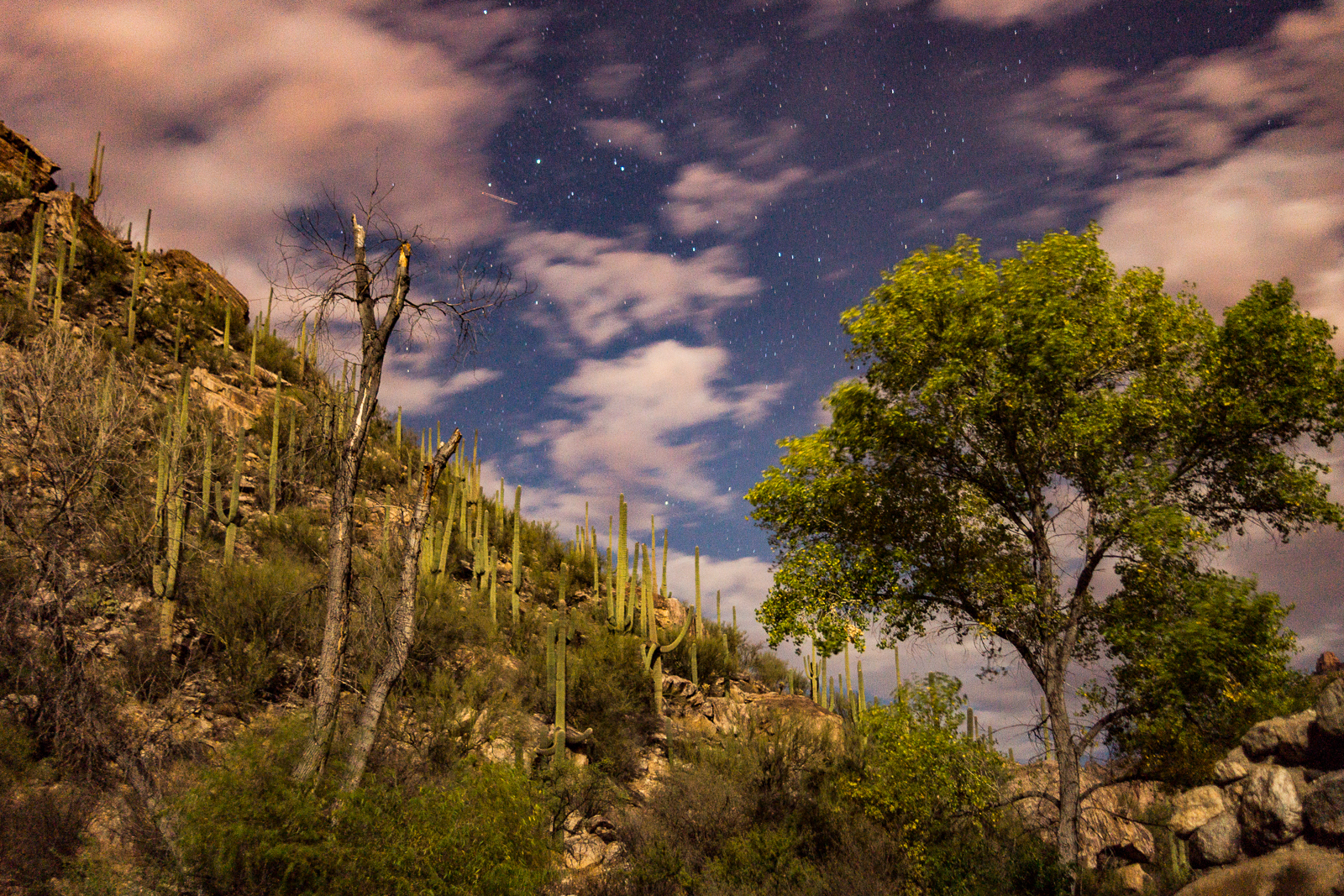 Looking up from Sabino Canyon - stars and clouds, Cottonwoods and Saguaro.