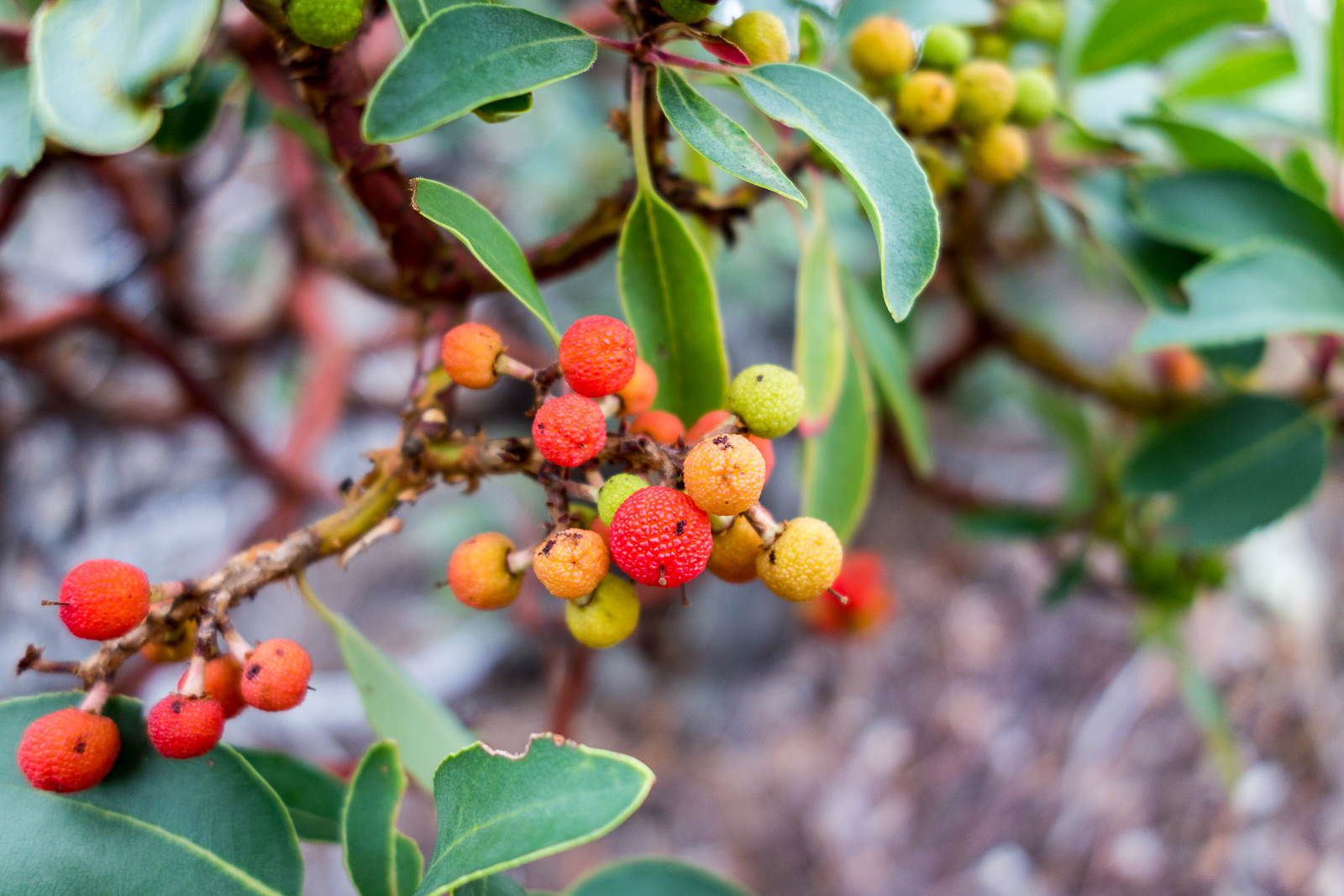 Colorful Madrone berries along the Red Ridge Trail. October 2015.