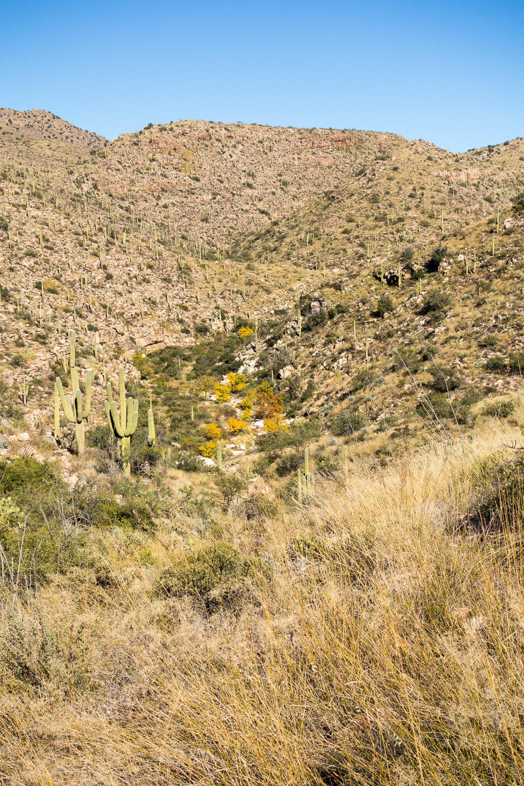 A hint of fall color in the bottom of Agua Caliente Canyon - from the Agua Caliente Hill Trail. November 2015.