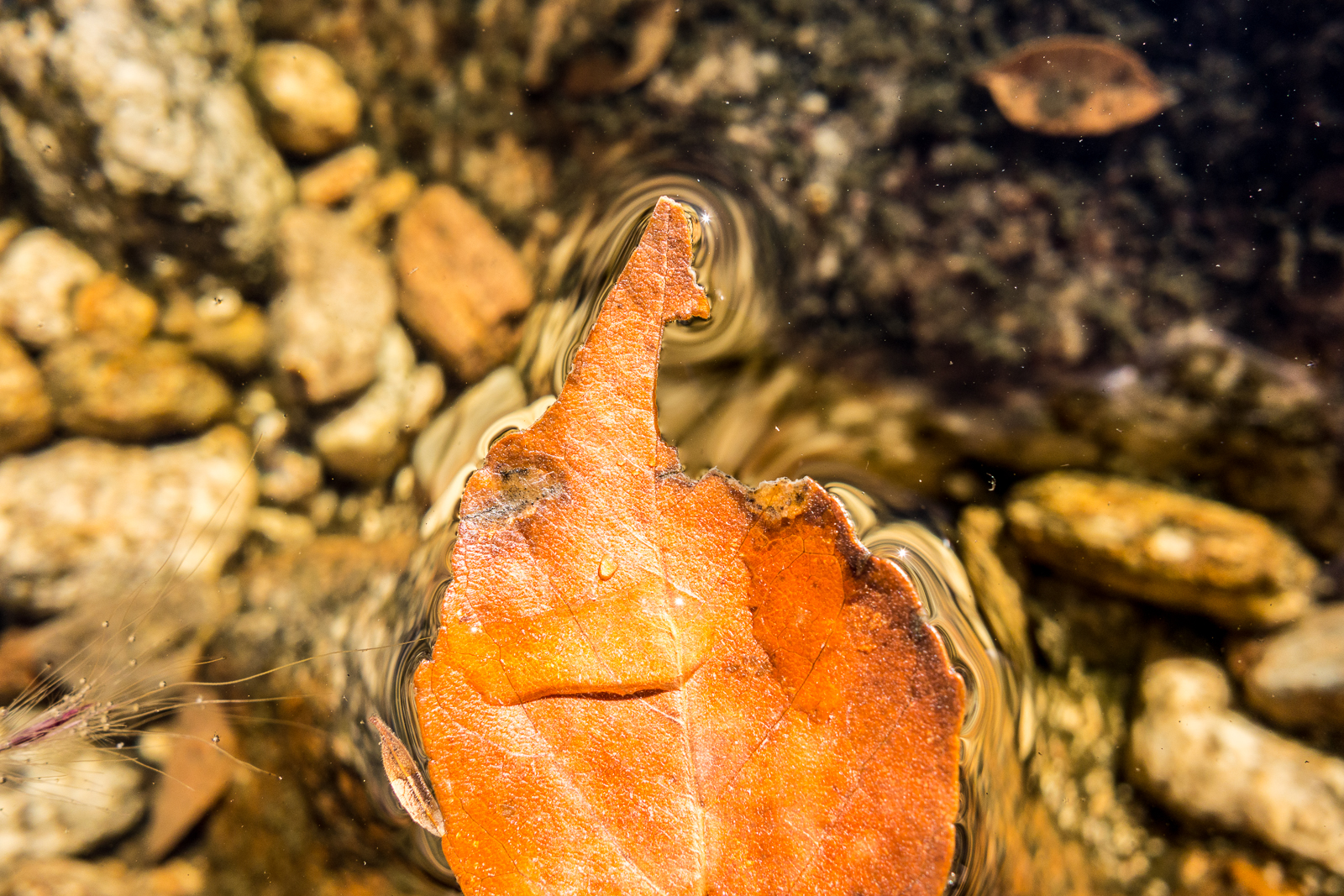A fallen fall leaf floating in clear water in Agua Caliente Canyon. November 2015.