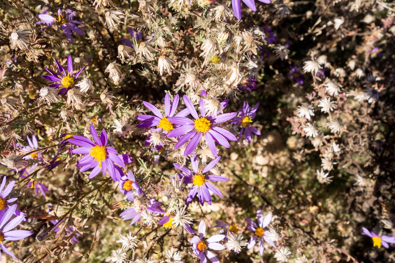 Flowers covering the ground alongside the Agua Calinte Canyon Trail near Gnat Tank. November 2015.