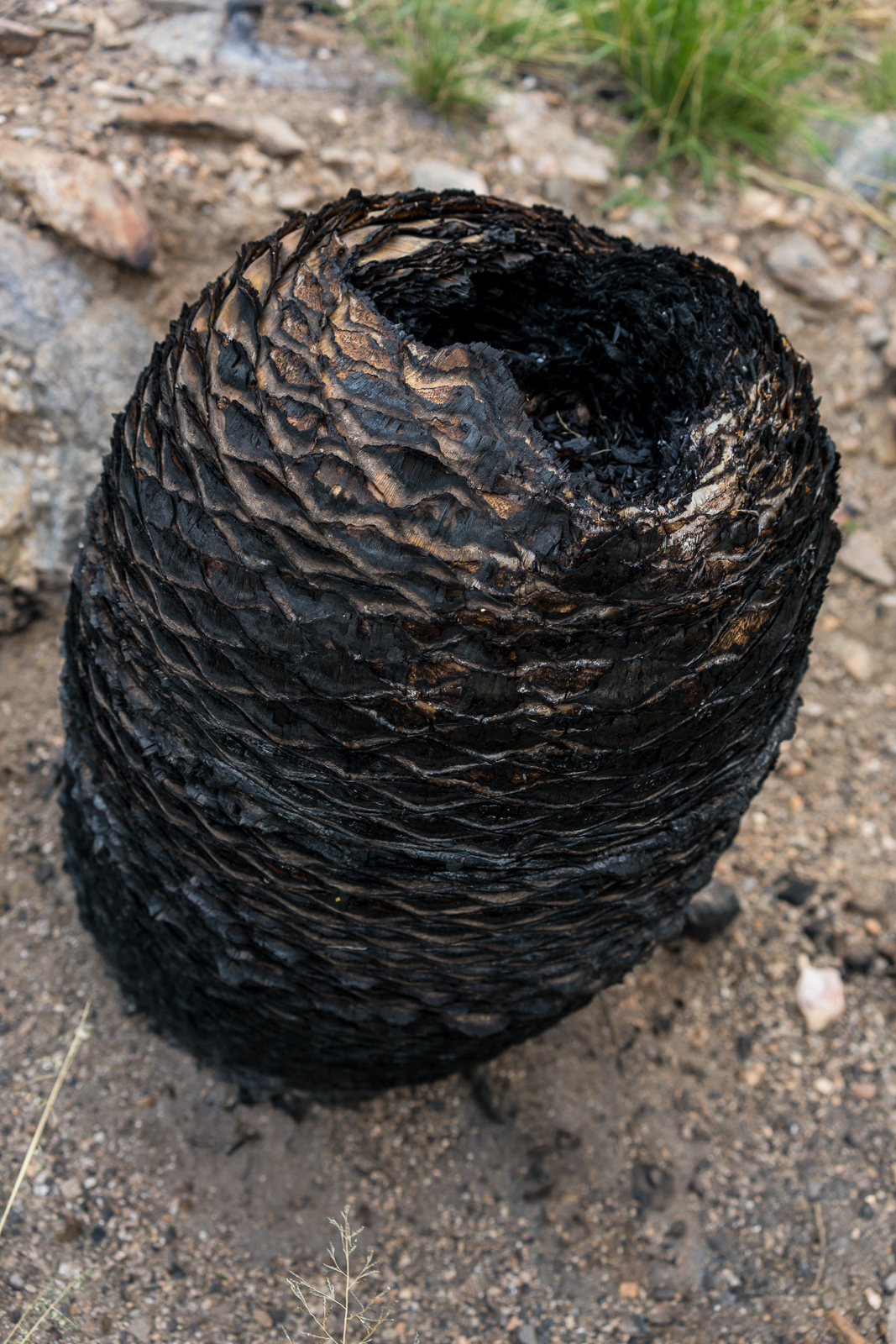 A fire formed black pod along the Pontatoc Canyon Trail. March 2016.