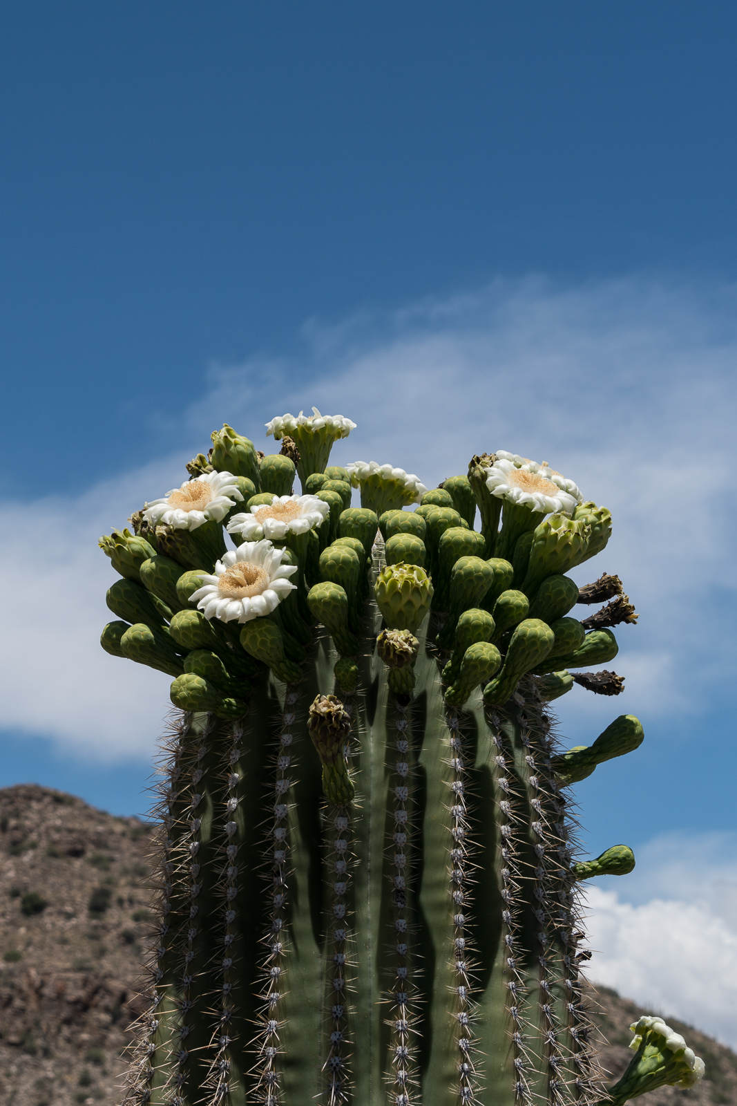 Saguaro just off the General Hitchcock Highway. May 2016.