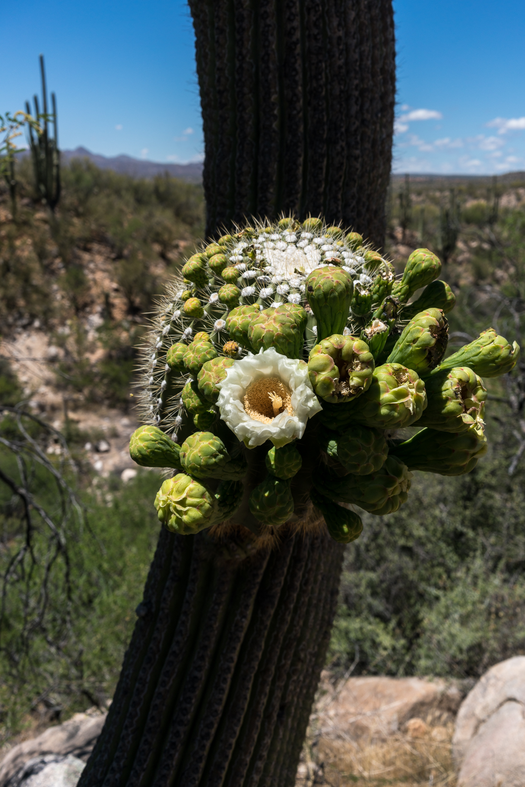 Saguaro Flower in Catalina State Park. May 2016.