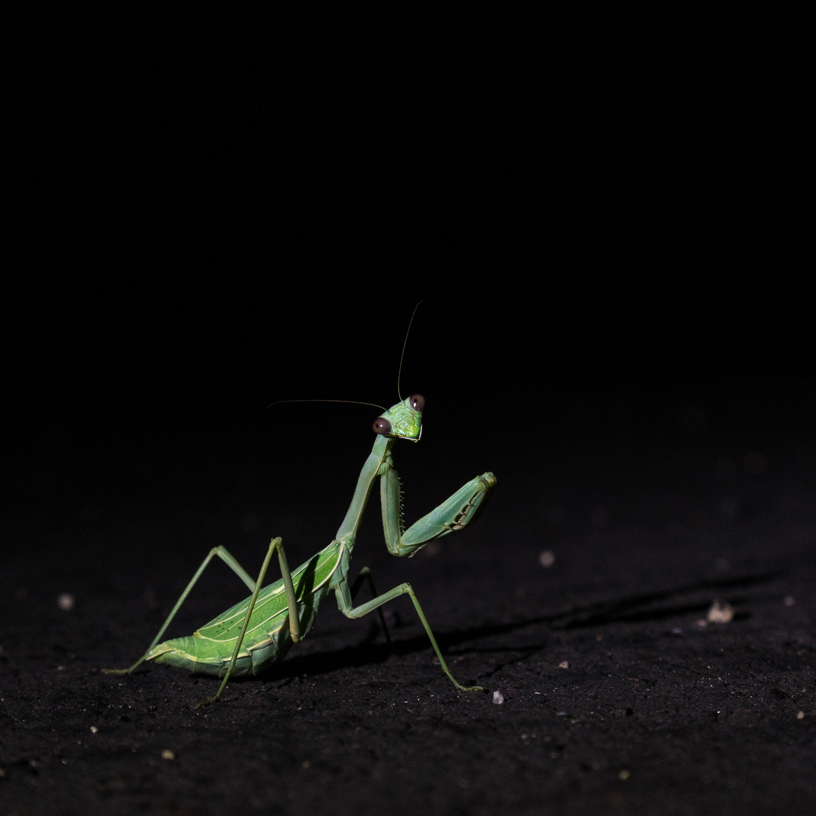 Praying Mantis. August 2016.