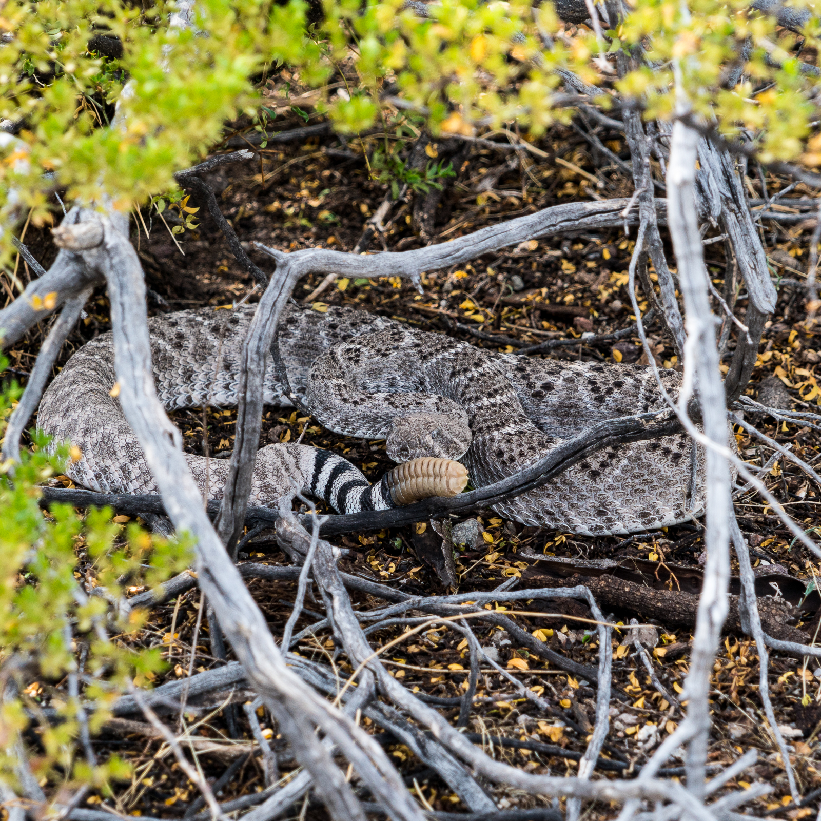 A rattlesnake watches after warning us away - on a small ridge above the San Pedro. August 2016.