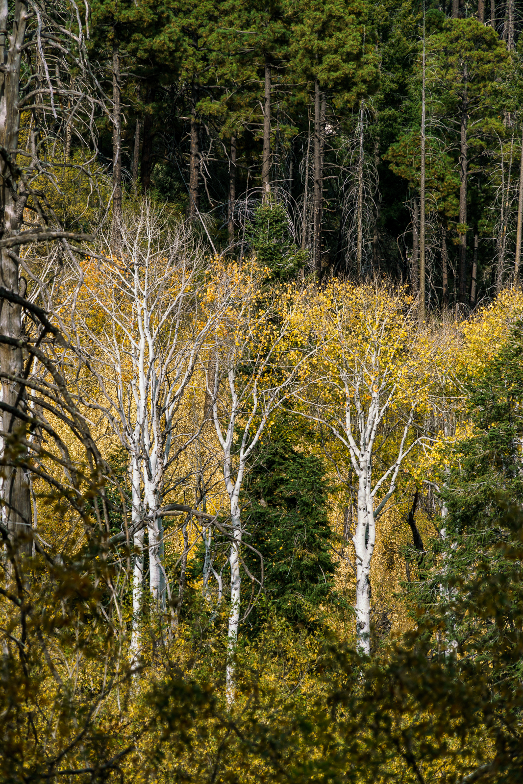 Last fall colors in the Aspens from the Aspen Trail. October 2016.