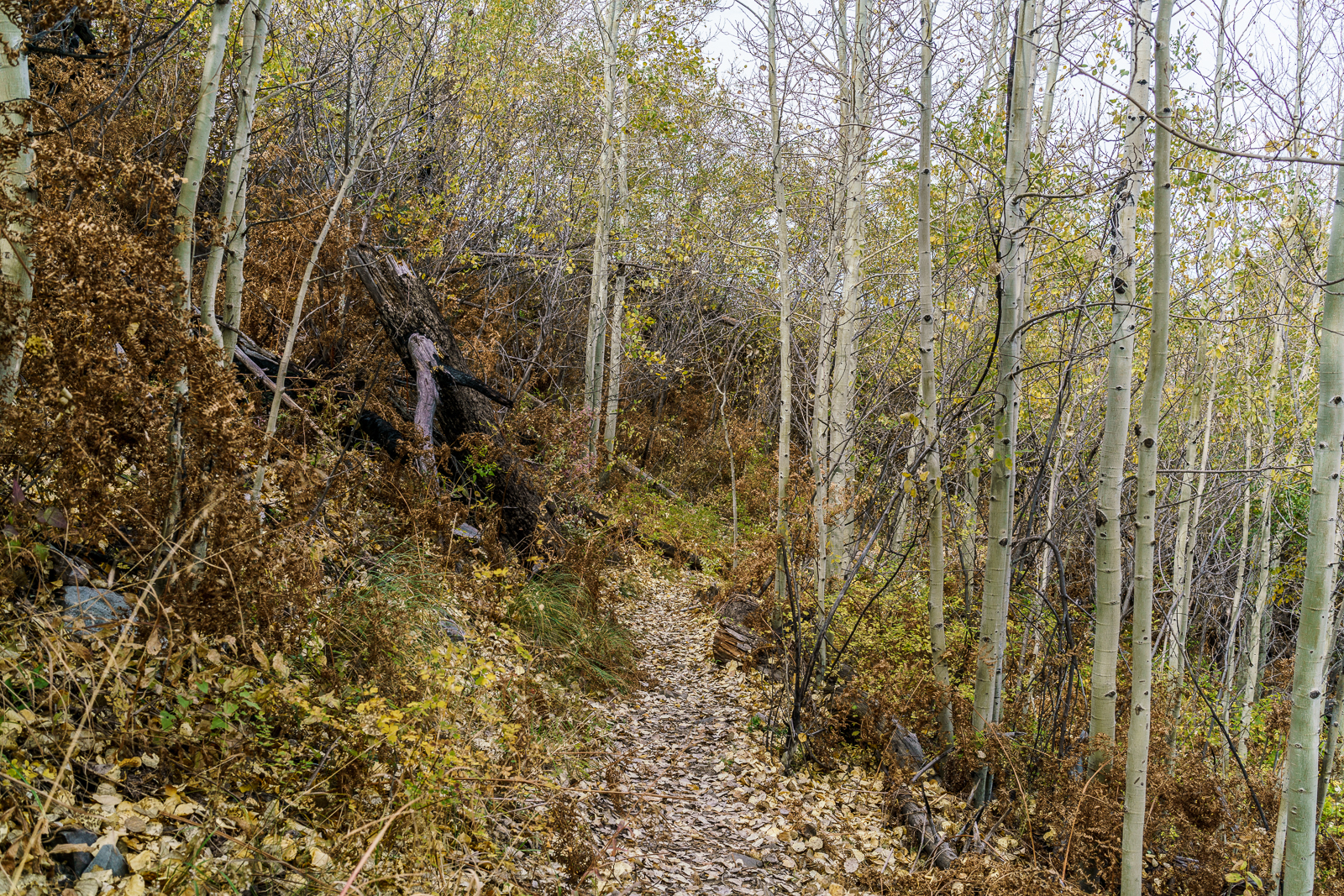 Bare Aspens near the top of the Red Ridge Trail. October 2016.
