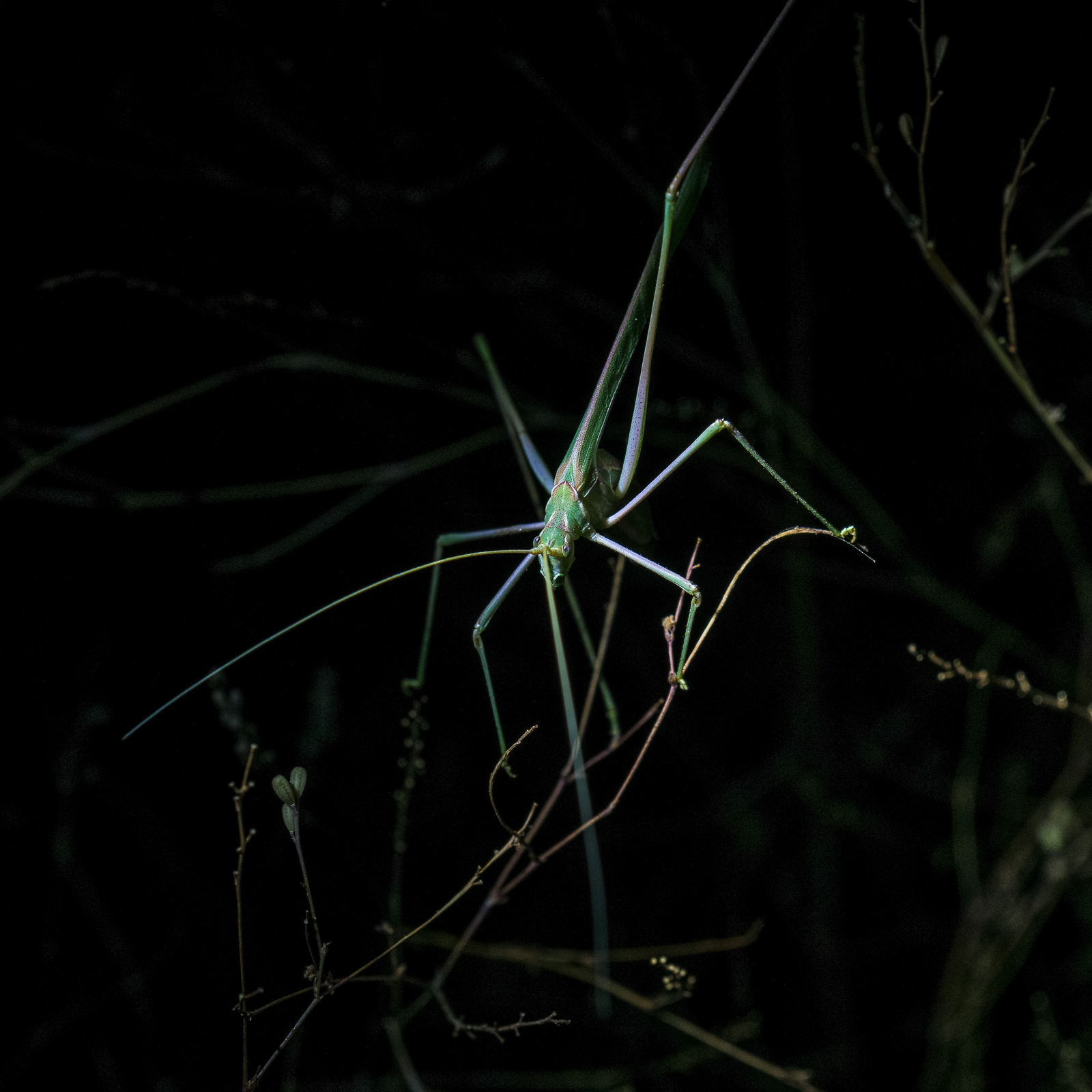Night creatures... A Katydid along the Sutherland Trail. October 2016.