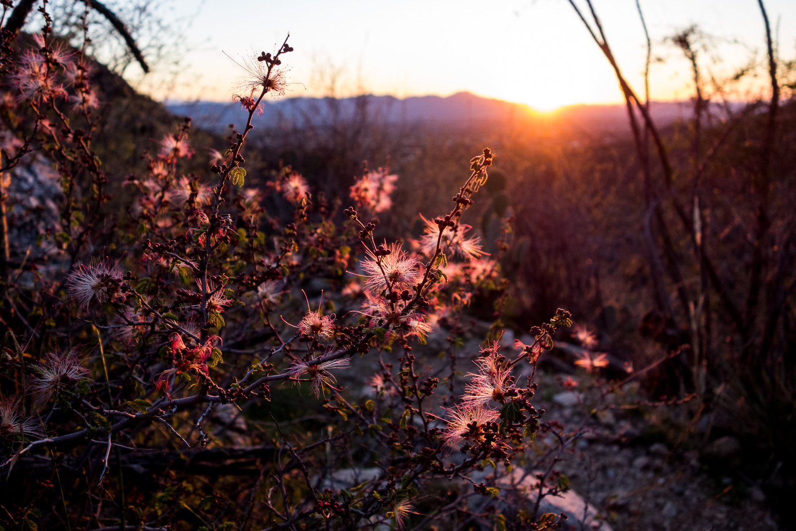 Fairy Dusters and sunset on the Pontatoc Canyon Trail. February 2017.