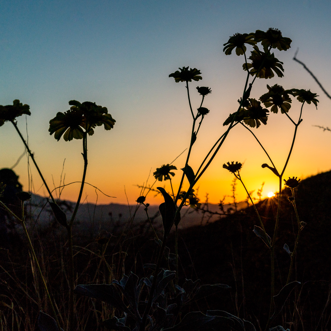 Brittle Bush and sunset on the Pontatoc Canyon Trail. March 2017.