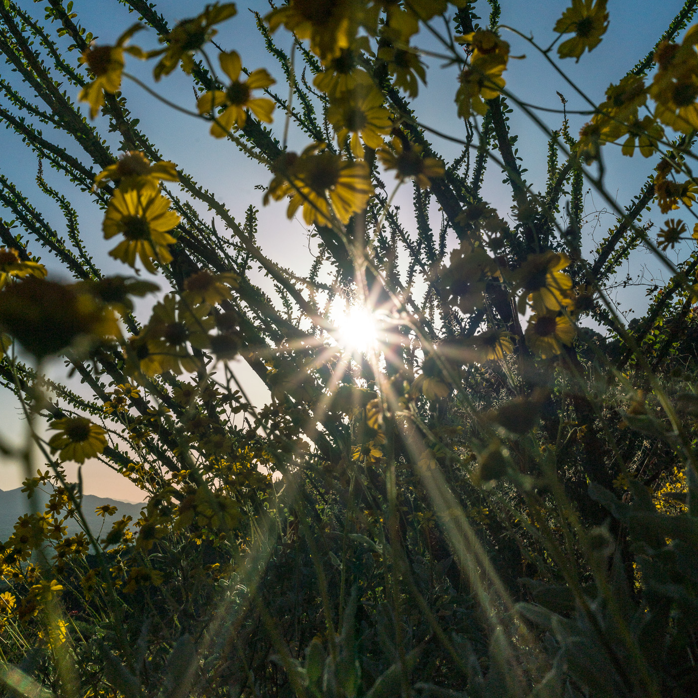 Sun, Brittle Bush, Ocotillo. March 2017.