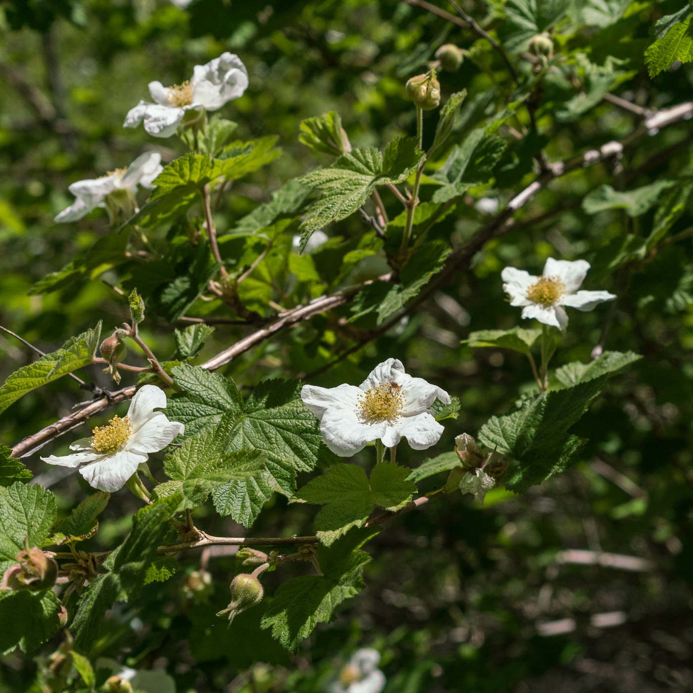Raspberry flowers along the Canada del Oro. May 2017.