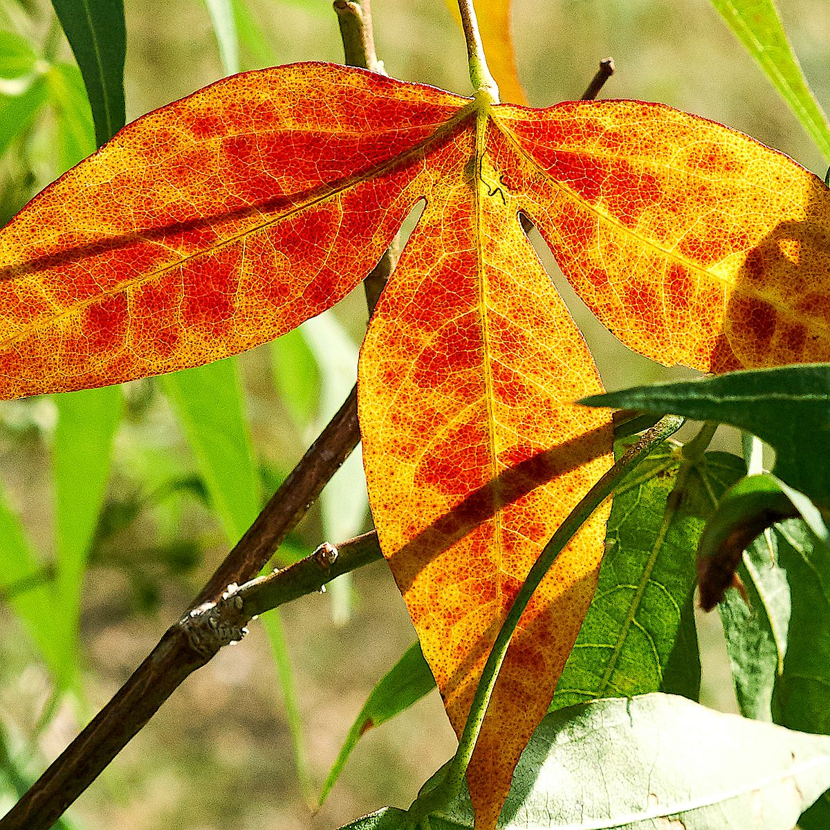 Orange and red Desert Cotton Leaf. August 2017.