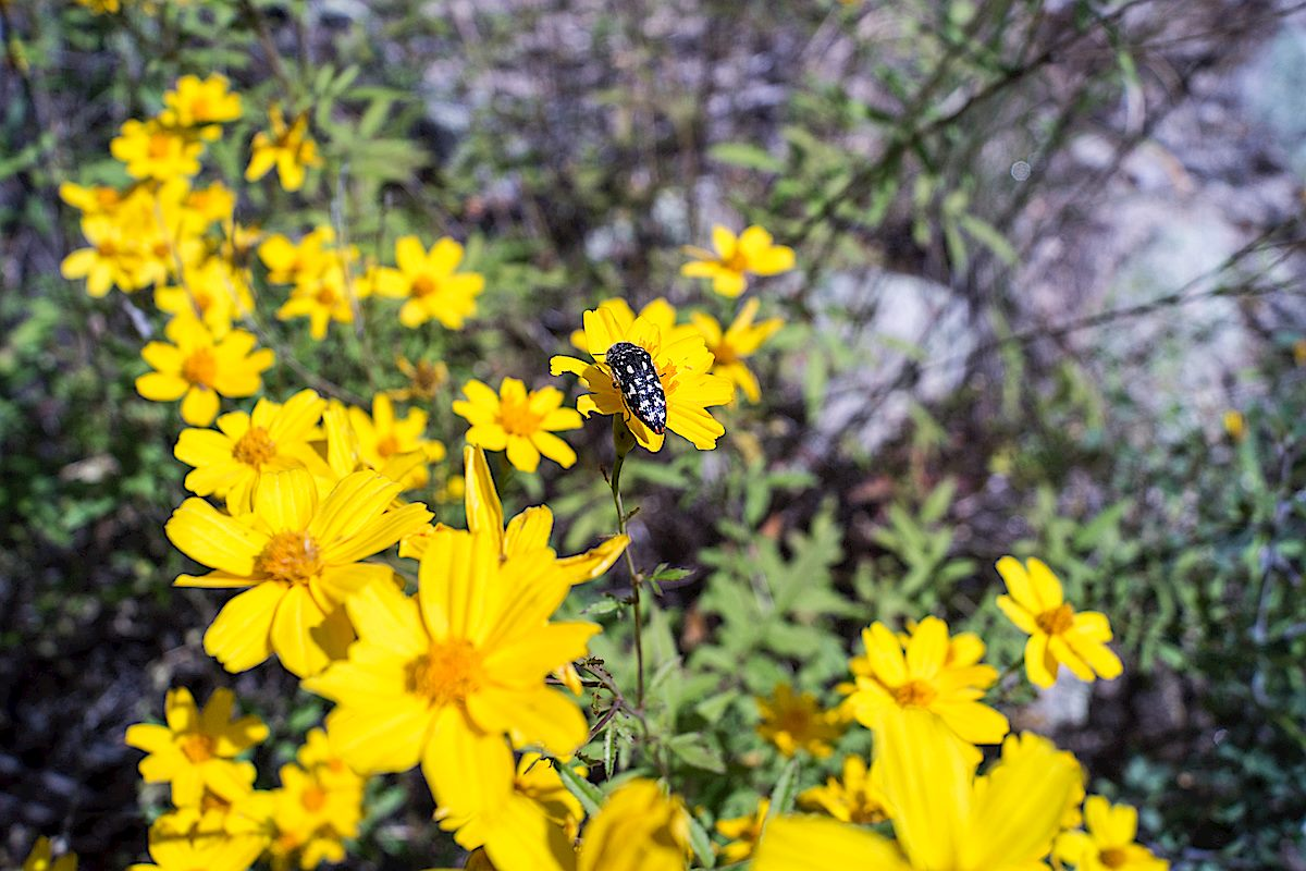 An Acmaeodera on yellow flowers - in Pine Canyon near the Palisade Trail . October 2014.