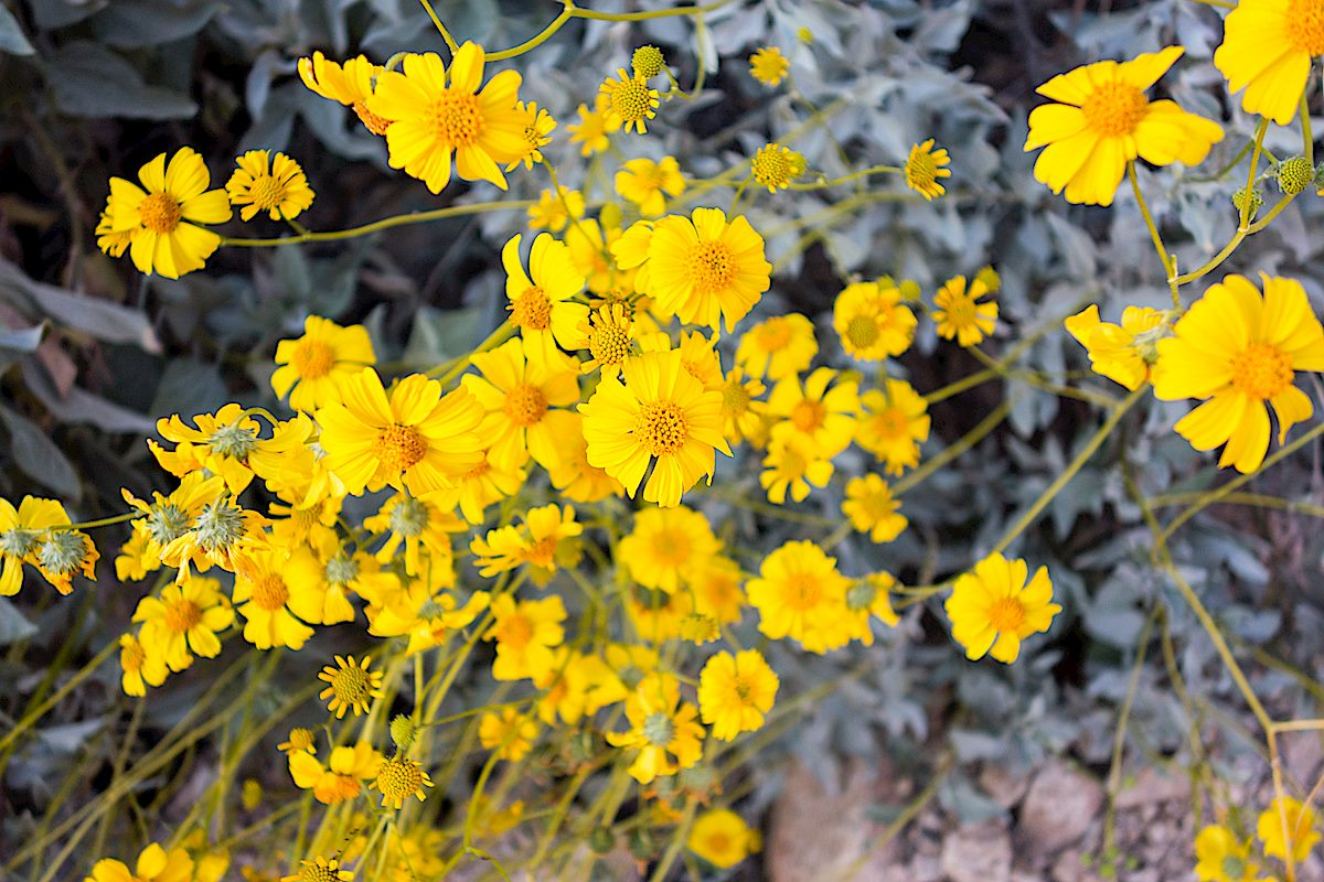 Brittlebush in Pontatoc Canyon. March 2015.