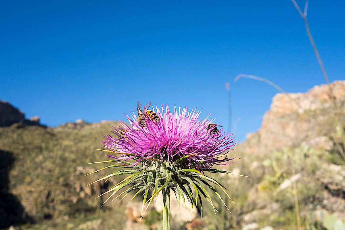 Thistle and Bees along the Pontatoc Canyon Trail. March 2015.
