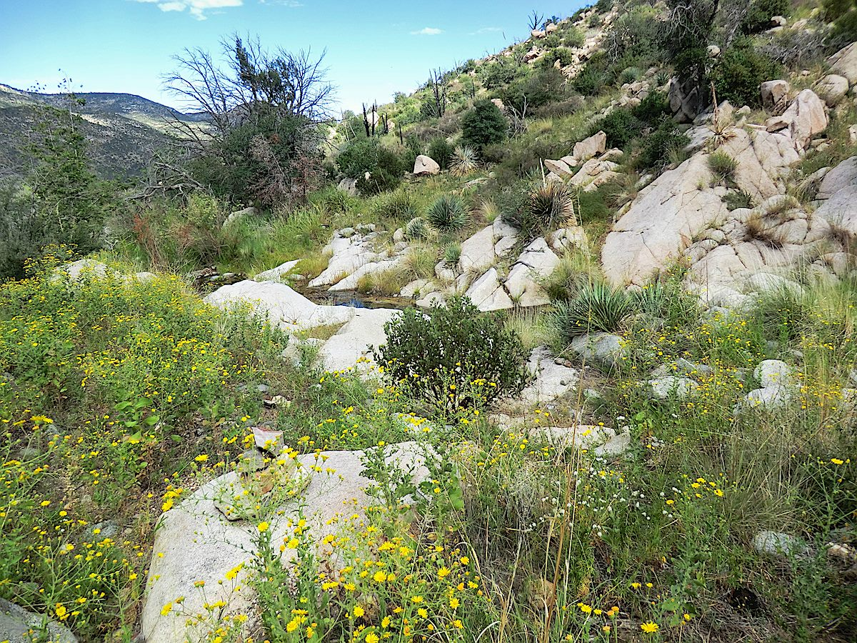 Flowers along the East Fork of the Canada del Oro. September 2013.
