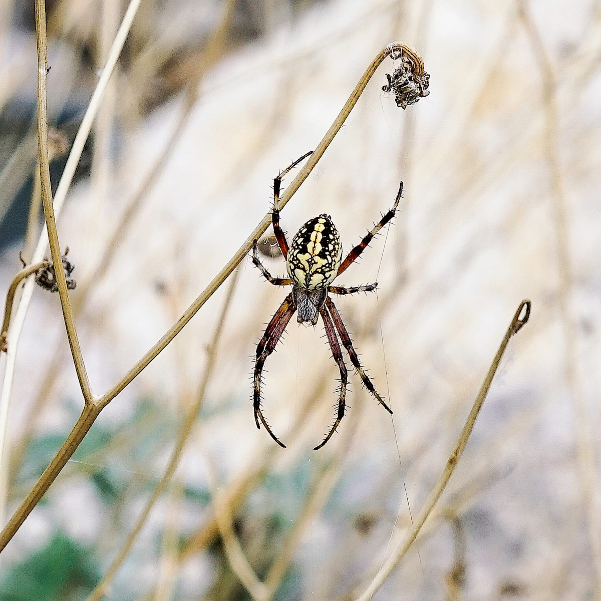 A Western Spotted Orbweaver at the Soldier Trail Trailhead. August 2017.